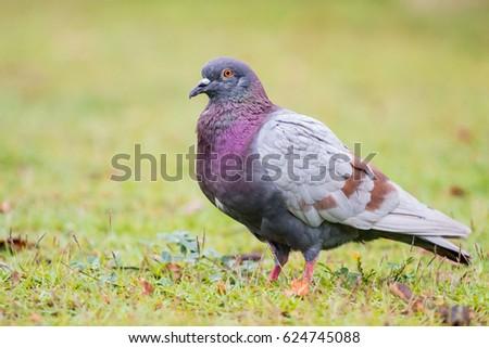 Safari Ecología: Pájaros comunes: Ancho-necked Dove
