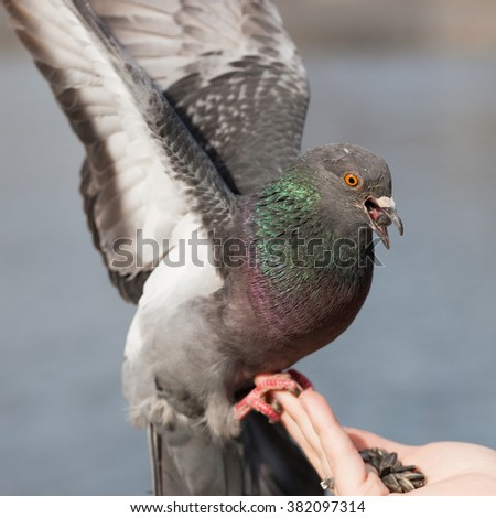 pigeon on the palm of your hand closeup - stock photo