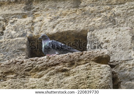pigeon on the wall - stock photo