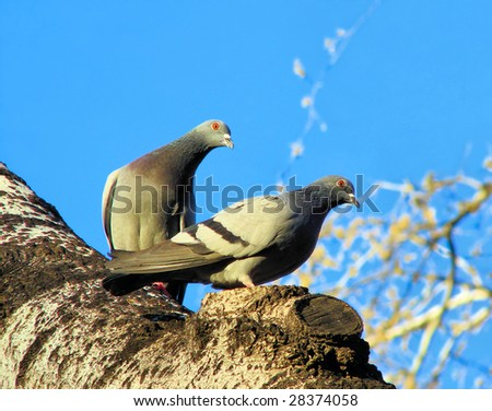 pigeon pair sitting on a tree in  spring