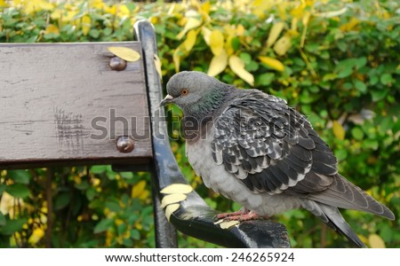 pigeon perched on a bench in city park - stock photo