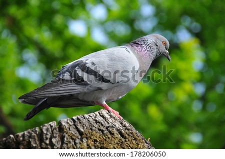 Pigeon portrait in a park - stock photo