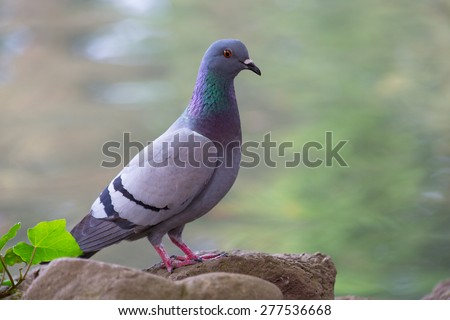 Pigeon posing on a rock