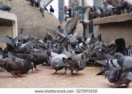 Pigeon.Selective focus.Pigeon in motion.  - stock photo