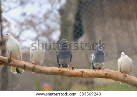 pigeon sit on a tree branch - stock photo