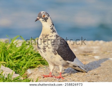 Pigeon standing near green grass and blue water