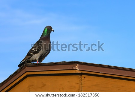 Pigeon standing on a roof with a blue sky background.