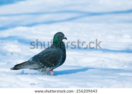 Pigeon walking on snow at sunny winter day