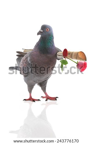 pigeon with the letter under a wing - stock photo