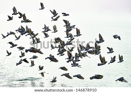 Pigeons flying in the sky in groups - stock photo