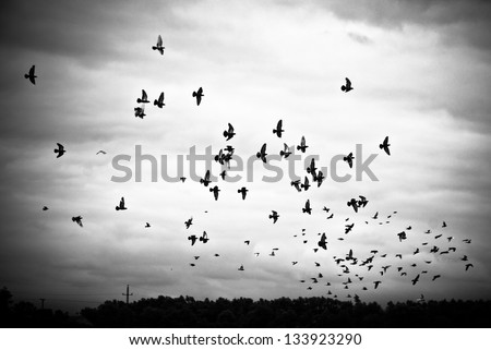 Pigeons flying in the sky in groups, black&white - stock photo