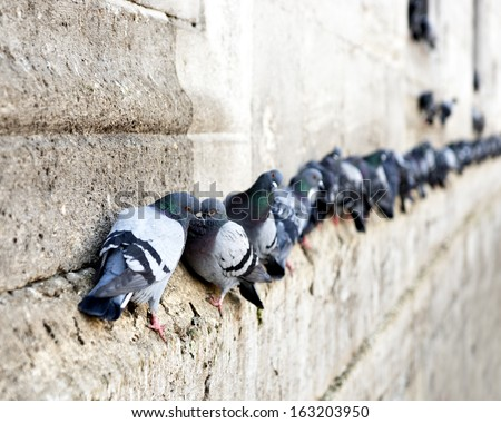 pigeons in a row on ancient stone wall - stock photo