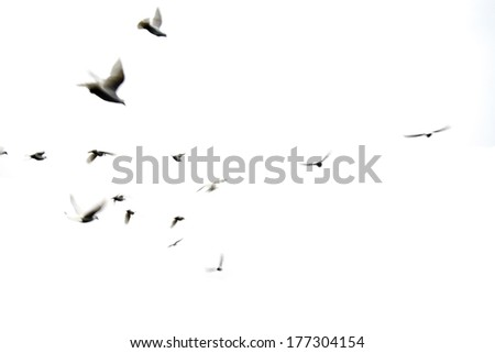 Pigeons motion blur - stock photo