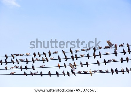 Pigeons resting in row on electric cable.