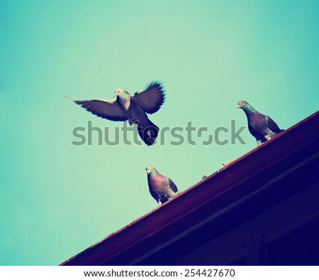 pigeons roosting on a roof with one flying up toned with a retro vintage instagram filter effect app or action  - stock photo