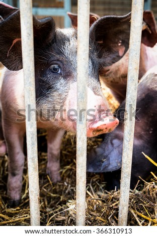 piglet at a farm - closeup