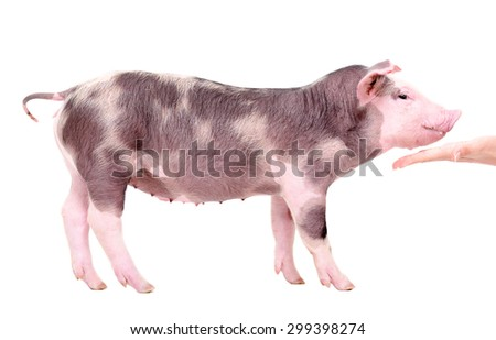 Piglet eats from hand standing isolated on white background - stock photo