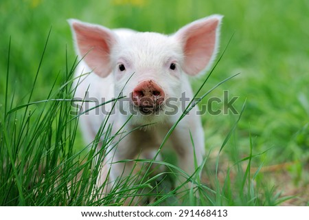 Piglet on spring green grass on a farm