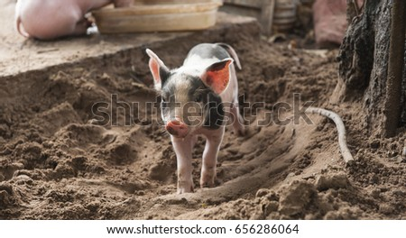 Piglet stands in the sand in its farmyard