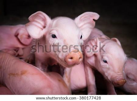 piglets - stock photo