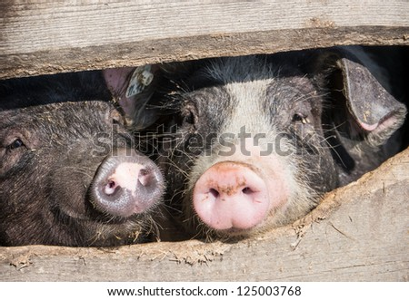 piglets at a farm - stock photo