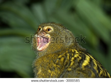 Pigmy Marmoset with it's mouth ope.