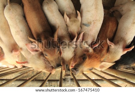 pigs are very thirsty  they are trying to drink water from a faucet - stock photo
