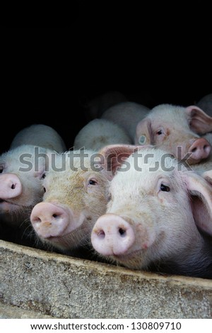 Pigs farm with little pigs waiting to be fed - stock photo