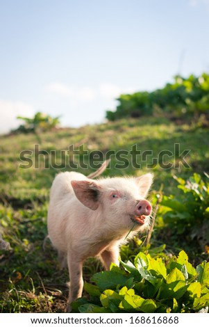 Pigs grazing high in the mountains