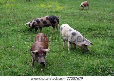 Pigs grazing on the grass field. Pigs grazing on the meadow. - stock photo