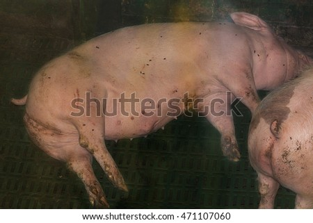 Pigs in a pigsty of a large pig breeding farm.