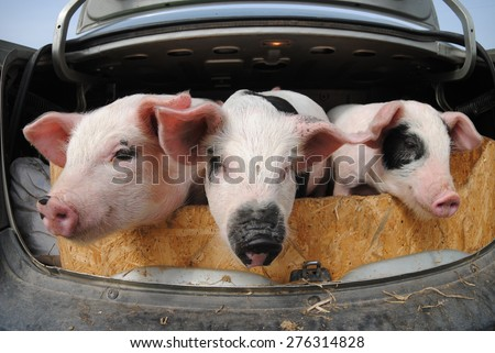 Pigs in the car trunk