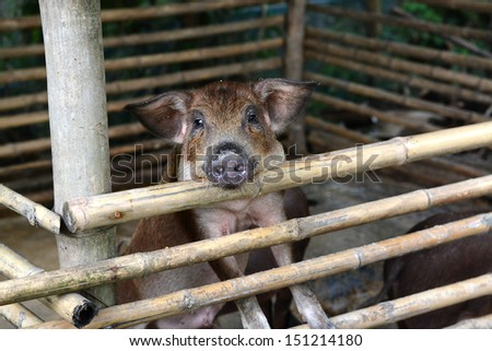 Pigs in the stall. - stock photo