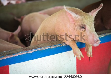 pigs in traditional farm - stock photo