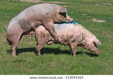 Pig+Mating+Pig Pigs mating on farm - stock photo