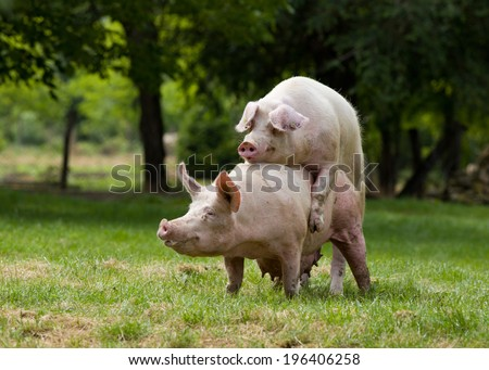 Pigs mating on farm, trees in background - stock photo