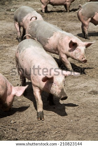 Pigs on the farm - stock photo