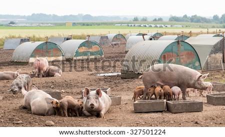 Pigs outdoor - stock photo