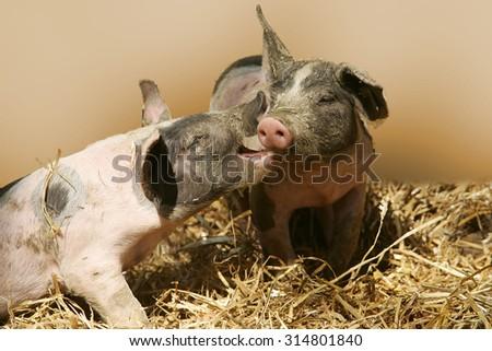 Pigs, piglets - stock photo