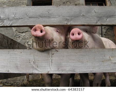 Pigs sticking their noses through a fence - stock photo