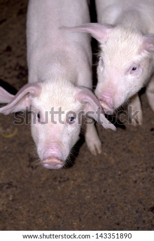 Pigs who are photographed on one of farms - stock photo