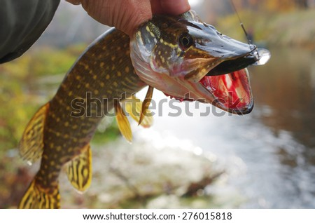 Pike and lure - stock photo