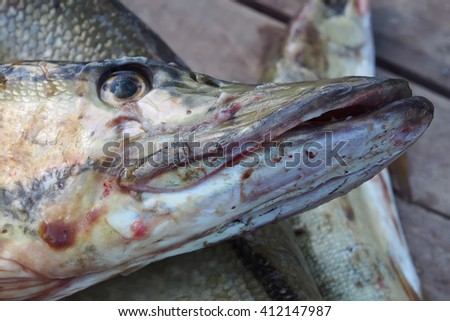 Pike fish head close-up
