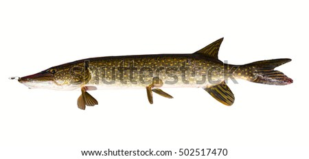Pike fish isolated on white