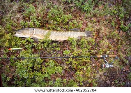 pike fishing big Northern fish - stock photo
