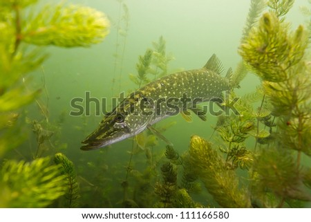 Pike on the plants background - stock photo