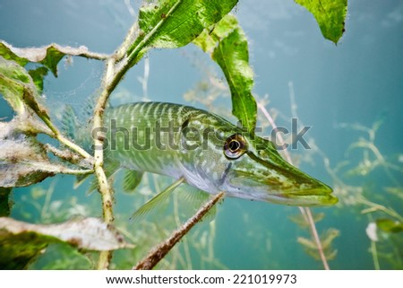 Pike on the plants background