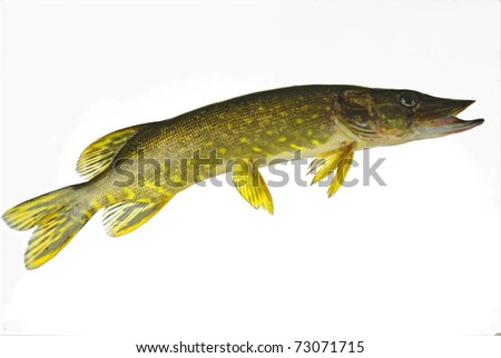 Pike on white background - stock photo
