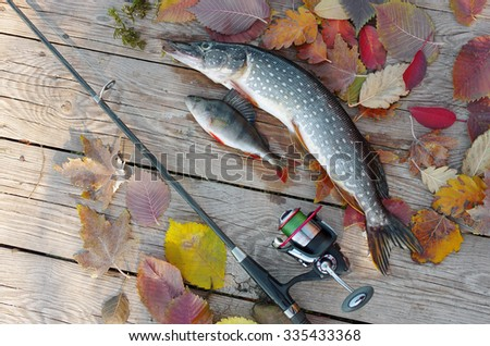 Pike, perch and spinning rod. - stock photo