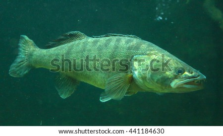 Pike perch (Sander Lucioperca) close up. Underwater photo in lake. Diving in fresh water. - stock photo
